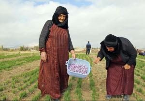 خانواده های خراسانی در حال برداشت گل زعفران